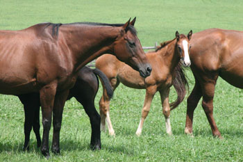 Mares & foals at Chesterland